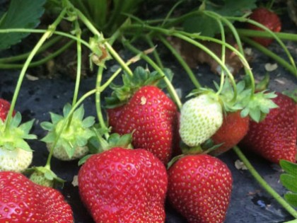 FOR SALE: Strawberries plants from Green Door Gourmet