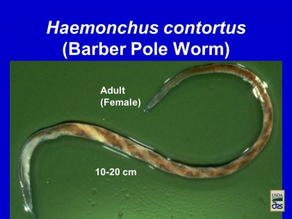 PP PRESENTATION: Barber Pole Worms In Small Ruminants