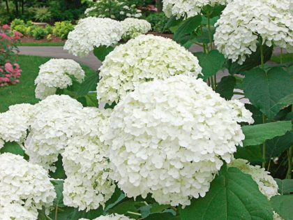 WORKSHOPS: Hydrangea Nursery & Landscape Mgt.  – August 1 & 7